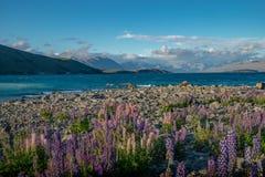 Lupini selvatici sulla riva del lago Tekapo Immagine Stock