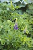 Lupinmutabilisblåklockor blommar under naturligt ljus royaltyfria foton