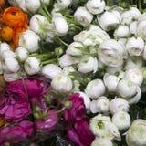 Lupino bianco, arancio e rosa Immagine Stock