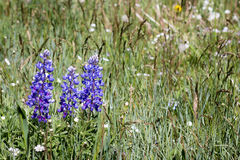 Lupino blu in un giacimento del fianco di una montagna dei wildflowers Fotografia Stock