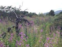 Lupino che cresce in primavera fotografia stock