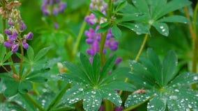 Lupino che fiorisce dopo la pioggia di estate stock footage