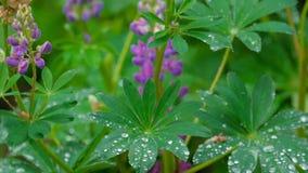 Lupino che fiorisce dopo la pioggia di estate archivi video