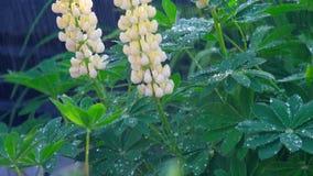 Lupino che fiorisce sotto la pioggia di estate video d archivio