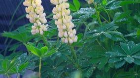 Lupino che fiorisce sotto la pioggia di estate stock footage