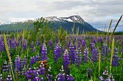 Lupino d'Alasca Immagine Stock
