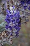Lupino luminoso con l'ospite benevolo dell'ape; Colline di cielo del cavallo, Washington State fotografie stock libere da diritti