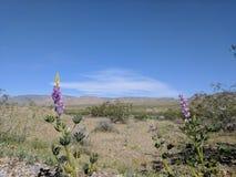 Lupino porpora del deserto Fotografia Stock Libera da Diritti