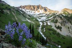 Lupino porpora nel cirque dell'alta montagna al tramonto Fotografie Stock