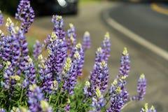 lupins пурпуровые Стоковые Фотографии RF