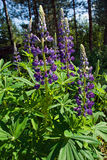 Lupins. Violet lupins in forest in sunny day Royalty Free Stock Photo