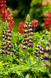 Lupins. Violet and red lupins in a fresh summer garden royalty free stock photography