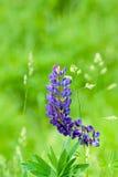 lupins стоковые фото