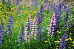 Lupins Image stock