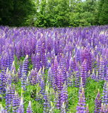 Lupins Photos stock