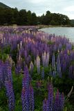 Lupins Foto de Stock Royalty Free