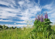 lupins Photographie stock