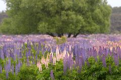 Lupins! royalty free stock images