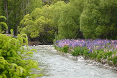 Lupins along riverbank in New Zealand Stock Image