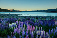 Lupins and Aroki Mt.cook Lake Tekapo, New Zealand Stock Images