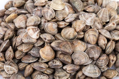 Lupins Clams Royalty Free Stock Images