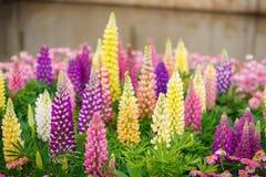 Lupins colorés Image stock