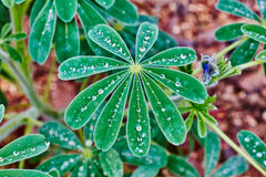 Lupins with drops of water Royalty Free Stock Images
