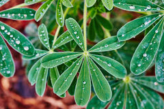 Lupins with drops of water Royalty Free Stock Photo