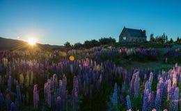 Lupins e igreja bons do lago shepred Tekapo, Nova Zelândia Foto de Stock