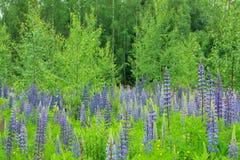 Lupins et arbres de bouleau Photographie stock