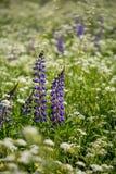Lupins et persil de vache bleus Photo libre de droits