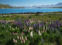 Lupins at Lake Tekapo Stock Image