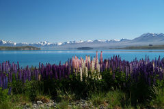 Lupins at Lake Tekapo Royalty Free Stock Images