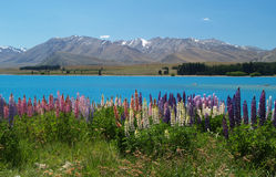Lupins at Lake Tekapo Stock Photography