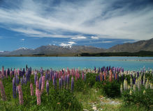 Lupins at Lake Tekapo Royalty Free Stock Photos