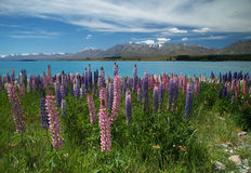 Lupins at Lake Tekapo Royalty Free Stock Photo