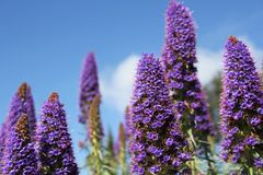 Lupins Royalty Free Stock Photo