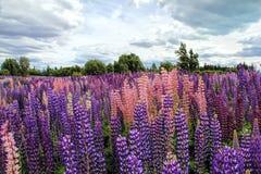 Lupins, the purple flowers. In Lake Tekapo, New Zealand royalty free stock photography
