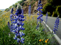 Lupins by the road. Beautiful wild lupins near a mountain road Stock Photo