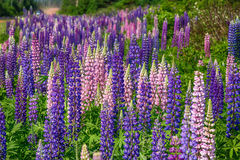 Lupins selvagens Foto de Stock Royalty Free
