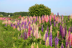 Lupins selvagens Imagem de Stock Royalty Free