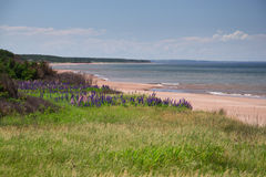Lupins at Stanhope Beach. Lupines blooming at Stanhope Beach, in Prince Edward Island national park Stock Photo