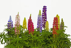 Lupins Royalty Free Stock Image
