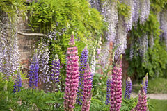 Lupins and Wisteria stock image