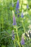 Lupinus в зеленой траве Стоковые Изображения RF