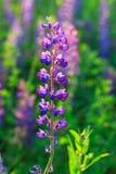 Lupinus, люпин, поле lupine с розовыми фиолетовыми и голубыми цветками Пук предпосылки цветка лета lupines стоковое фото rf