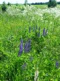Lupinus, люпин, поле lupine с розовым пурпуром Стоковые Изображения