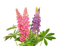Lupinus Royalty Free Stock Image