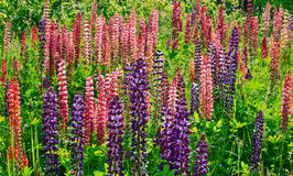 Lupinus Royalty Free Stock Photography