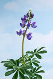Lupinus against sky background Stock Photos